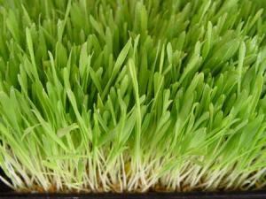 barley-grass2