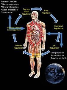 homeostasis-human-energy-regulation
